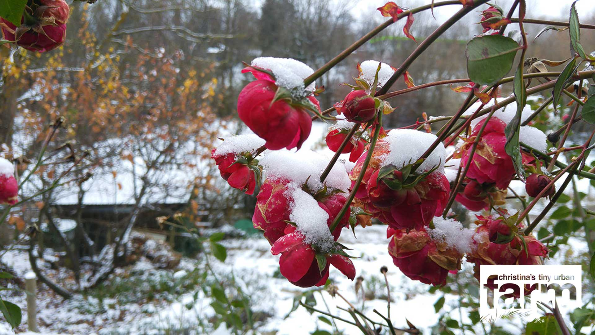 Pomponella roses covered with snow.