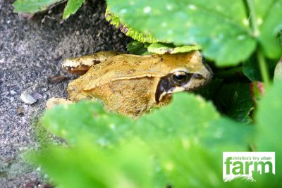 Toad between green leaves in the garden.