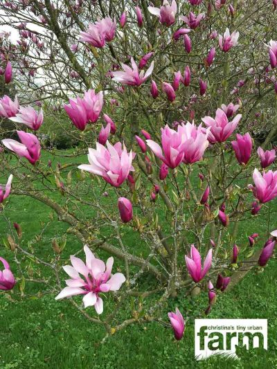 Light to dark pink magnolia blossoms, that seem to float in the air.