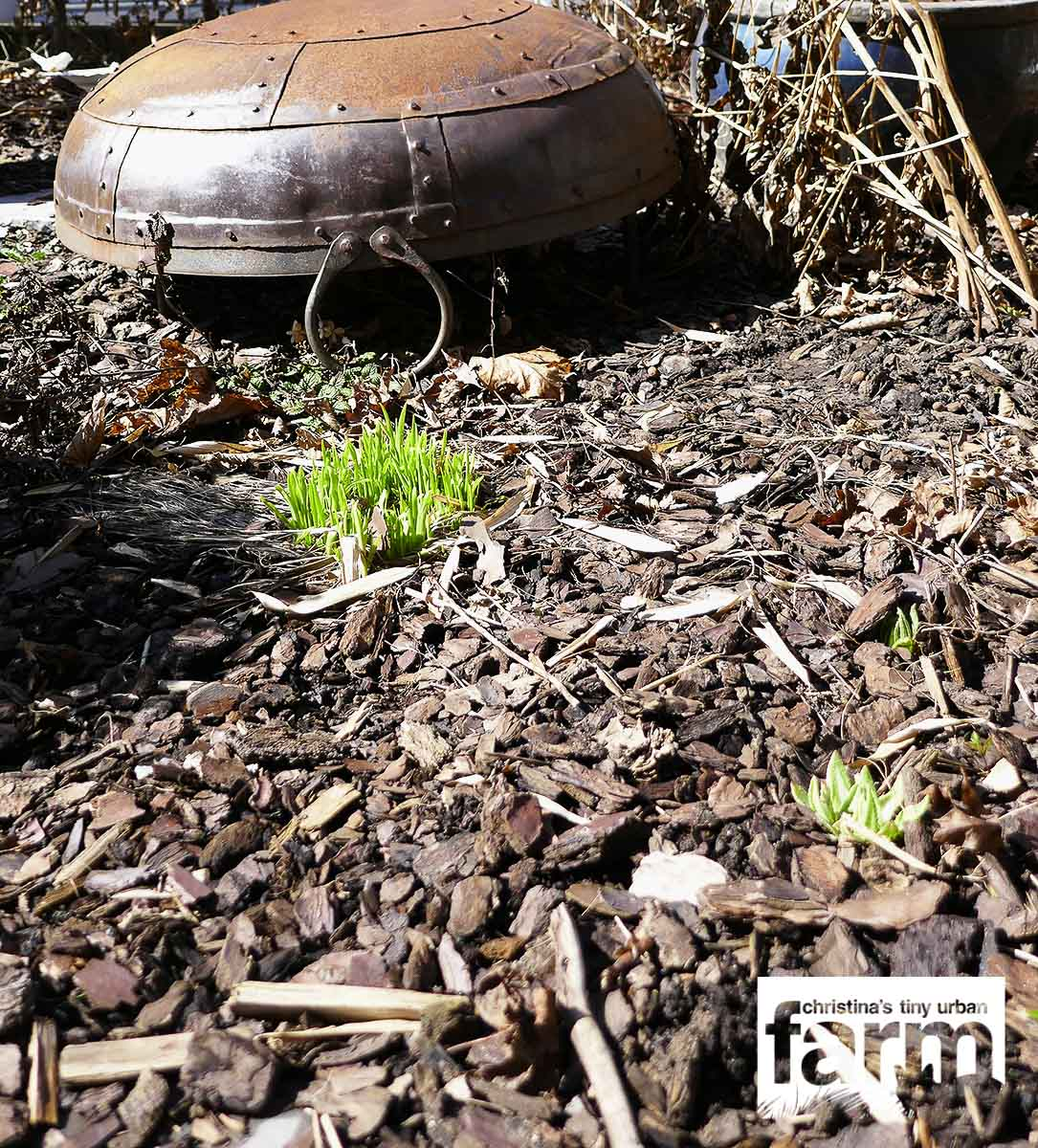 Garden patch covered in brown mulch, with tender platelets sprouting in front of a rustic fire pit that is turned upside down.