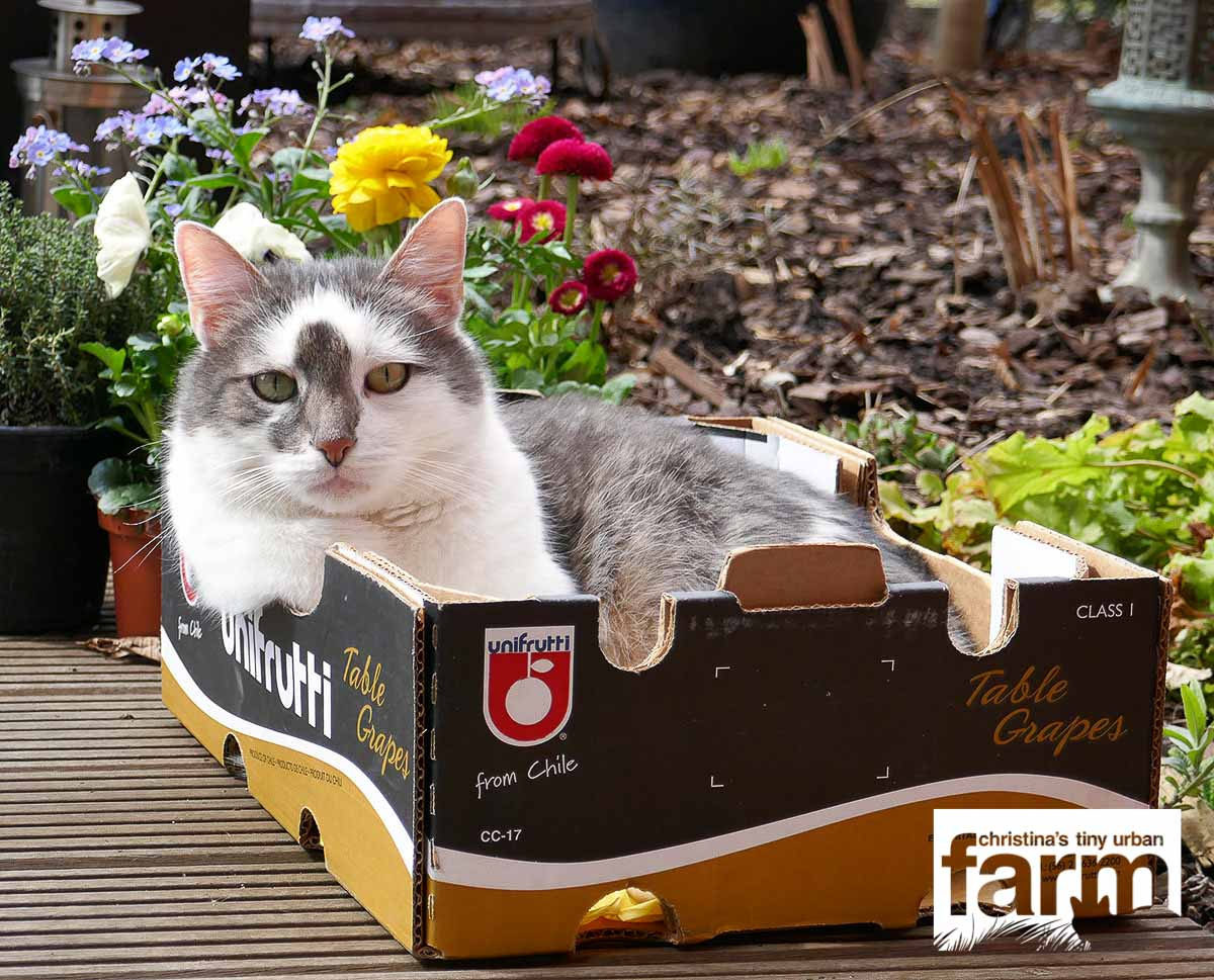 Grey striped cat with white triangle in his face sitting in a empty box of table grapes, in front of some flowers.