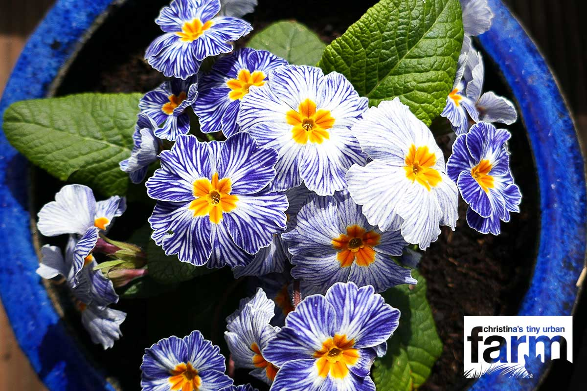 Blue-White Striped Primrose