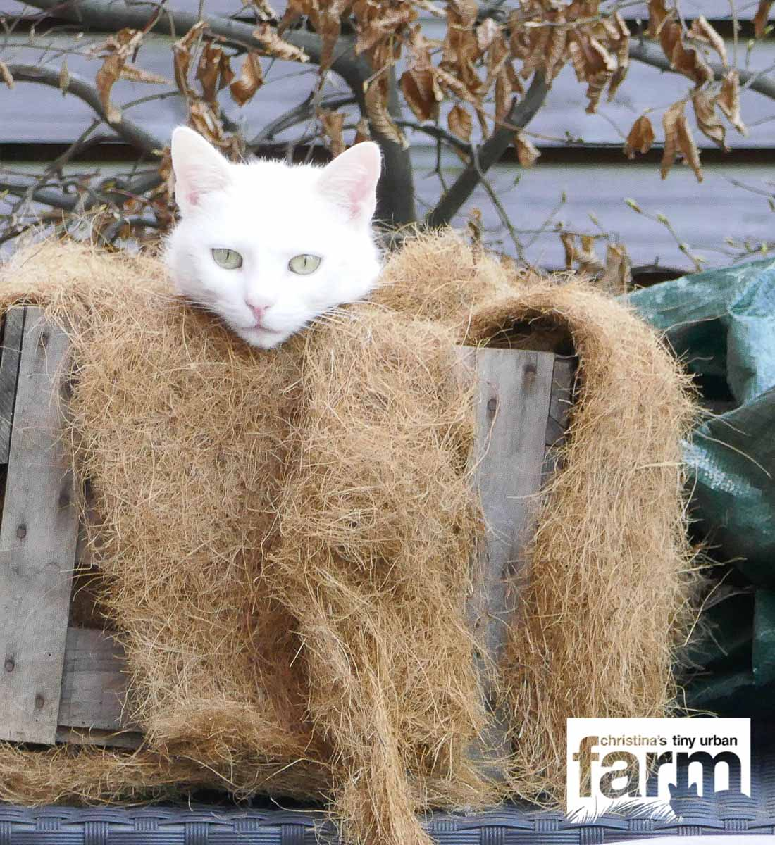 White cat sitting a wooden wine box, filled with a coconut mat.