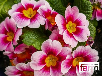 Light to deep pink primrose with yellow center.