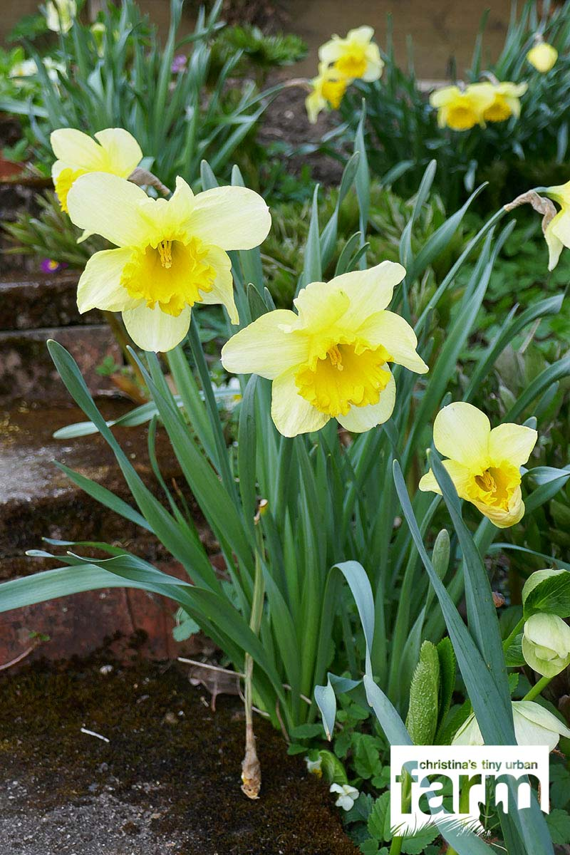 Large-cupped Daffodils, light yellow flower with darker yellow cup
