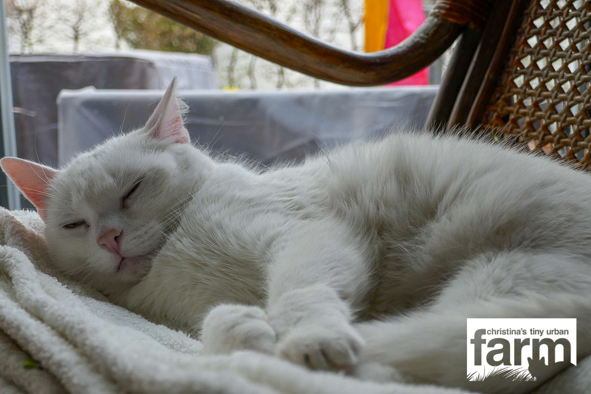 Marlene - where does the white cat end and the white blanket start ?