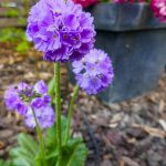 Purple drumstick primrose with pink hyacinths in the background.