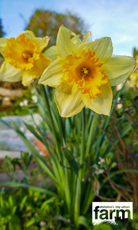 Large-cupped Daffodils, yellow flower with darker yellow cup