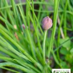 Chive Bud