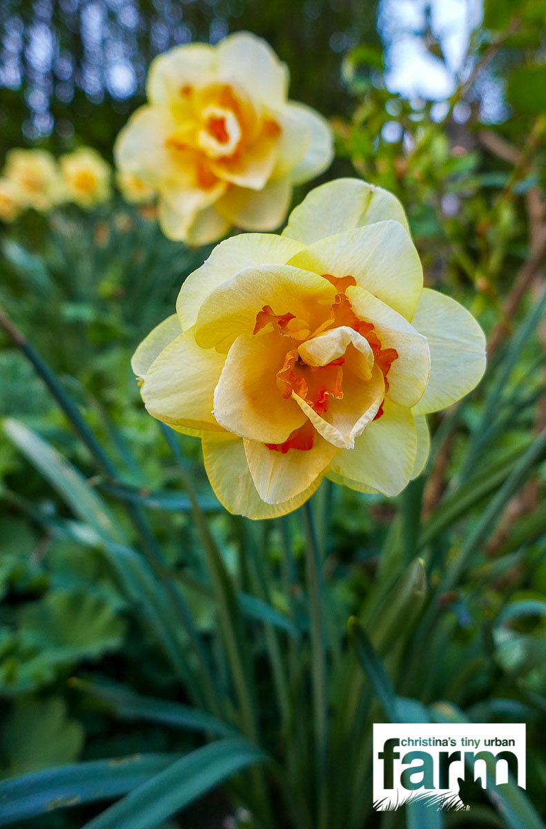 Double Daffodils, light yellow with dark orange