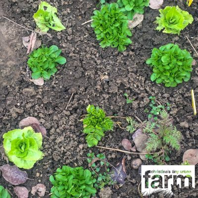 Winter salad, field salad, celery, phacelia and speedwell in the vegetable patch.