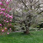 Blossoms of magnolia and another tree in spring at Hohenheim Gardens, Stuttgart.