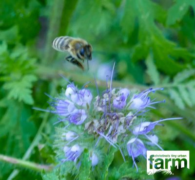A bee about to land on a phacelia blossom