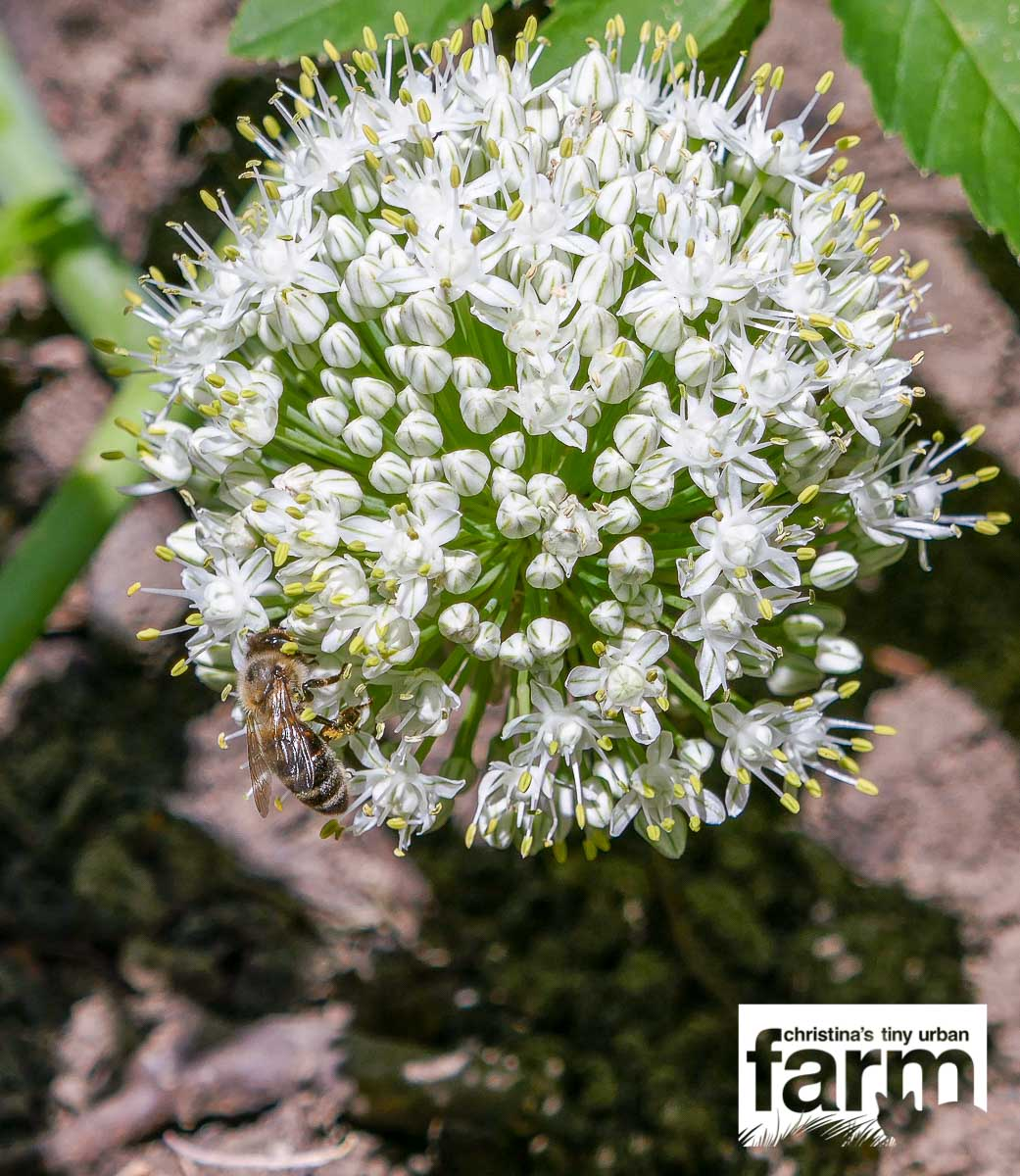 Onion Blossom with Bee