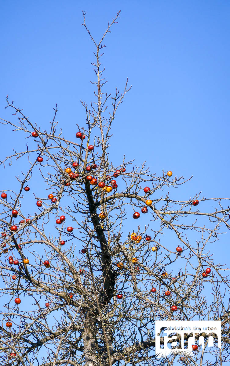 Streuobstäpfel Winter in Beuren